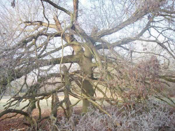 Storm damaged tree before