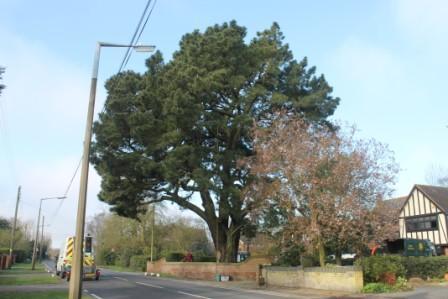 Large Corsican Pine tree